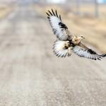 Burung Elang Istimewa