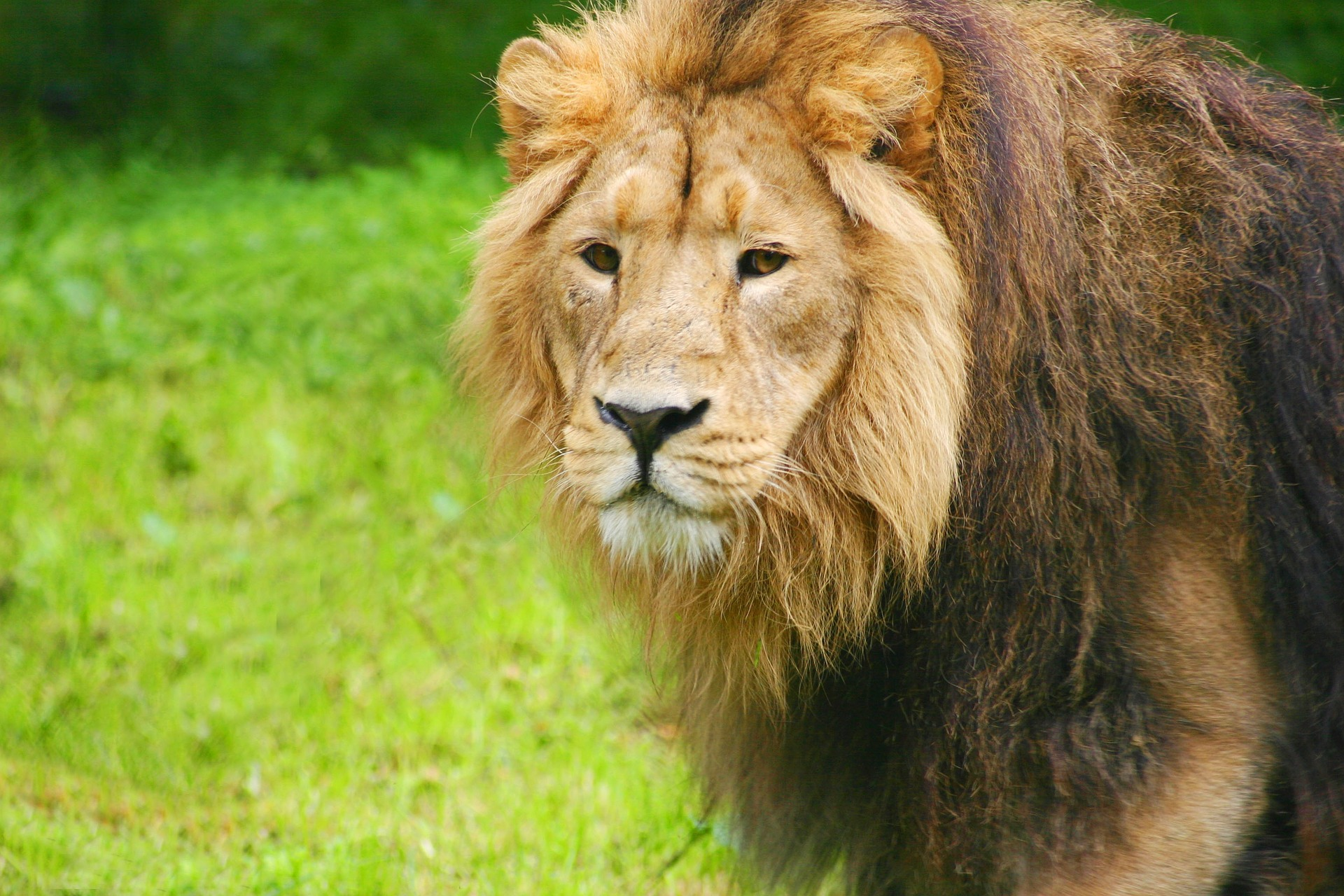 Gambar Singa Full HD